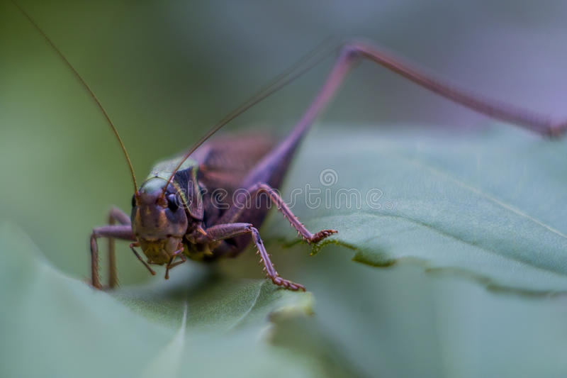 Grasshopper in the grass. Grasshoppers are a large group of insects with more than 6800 kinds. Grasshoppers are 3 family in the order Orthoptera and are royalty free stock photography