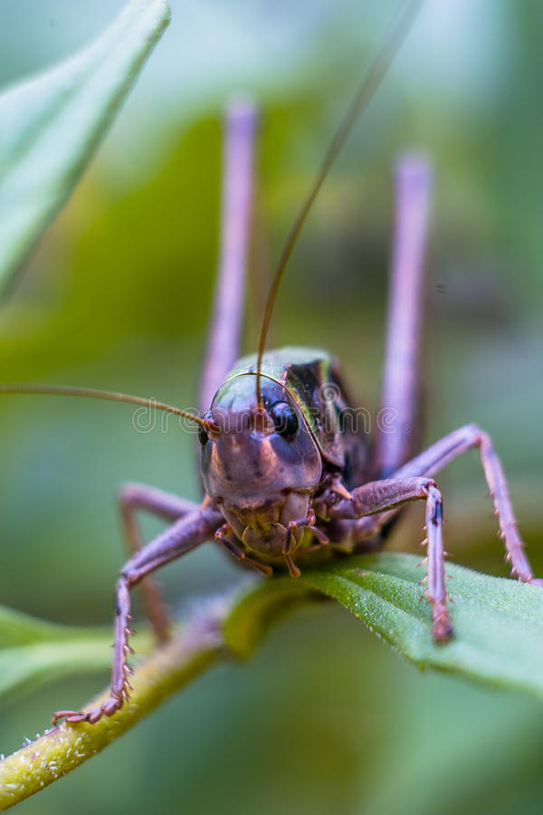 Grasshopper in the grass. Grasshoppers are a large group of insects with more than 6800 kinds. Grasshoppers are 3 family in the order Orthoptera and are stock images