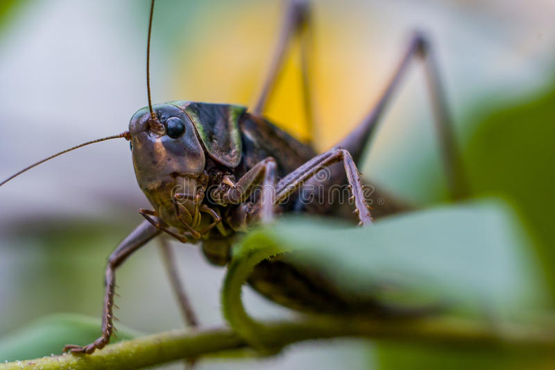 Grasshopper in the grass. Grasshoppers are a large group of insects with more than 6800 kinds. Grasshoppers are 3 family in the order Orthoptera and are stock photography