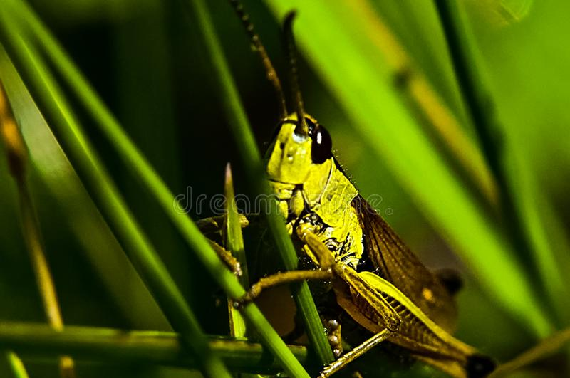Grasshopper on the grass. Locust insect stock image