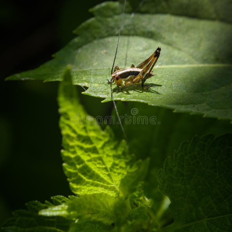 Grasshopper on a green leaf. macro photography. Grasshopper on garden macro photography stock images