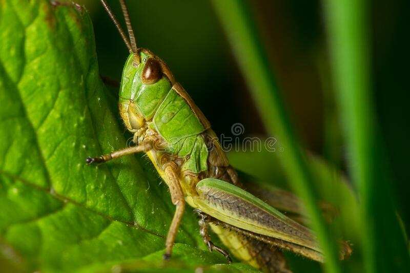 Grasshopper Green And Yellow Free Public Domain Cc0 Image