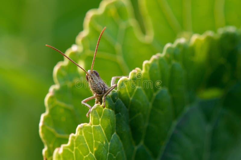 Download Grasshopper on guard stock photo. Image of nikon, macro - 41538800