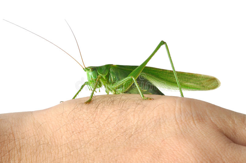 Grasshopper on Hand stock photos