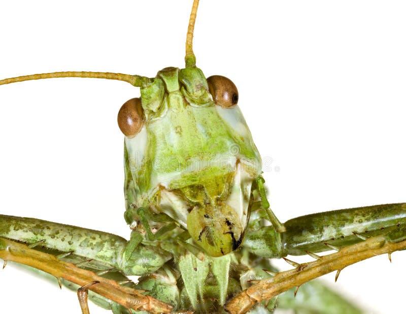 Grasshopper Head stock image