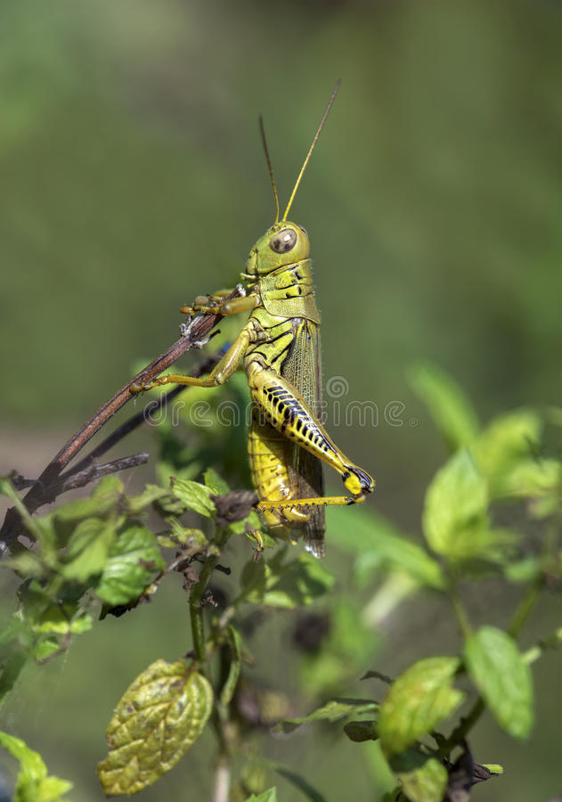 Grasshopper. Hiding behind mint leaves royalty free stock photography