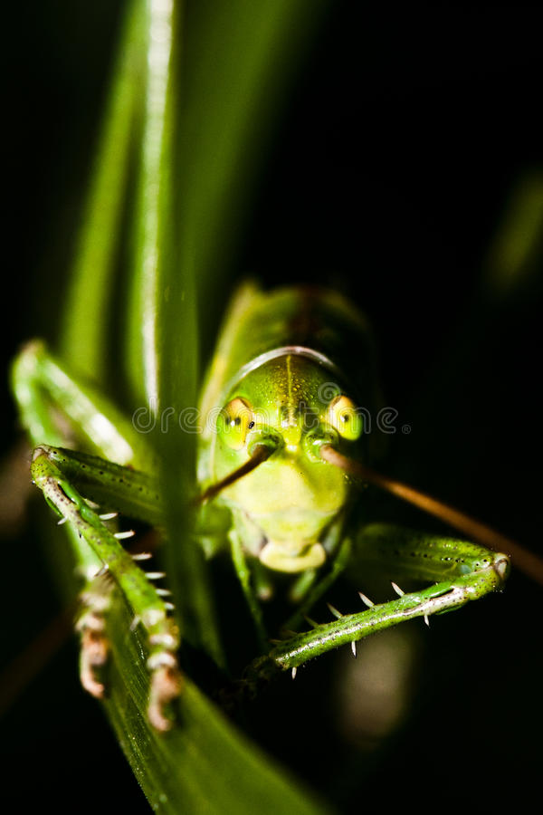 Download Grasshopper Hiding In Grass Stock Image - Image: 20768859