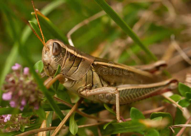 Download Grasshopper, horizontal stock photo. Image of hind, forewings - 20519676