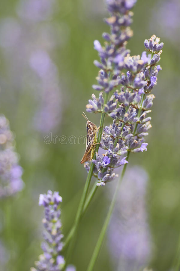 Grasshopper. Insect posed on a lavender flower stock photos