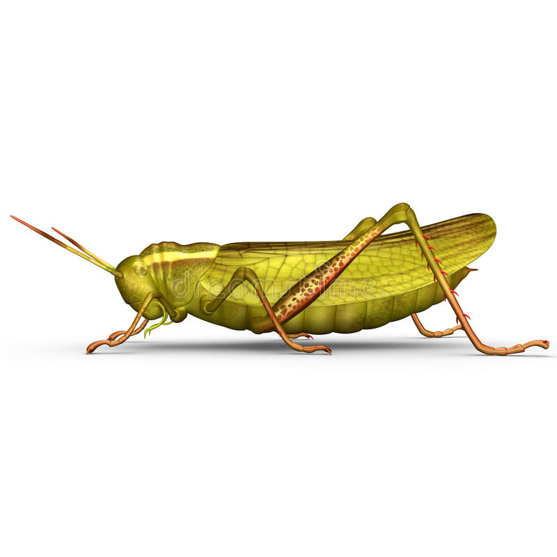 Grasshopper. The grasshopper is an insect of the suborder Caelifera in the order Orthoptera, sometimes referred to as the short-horned grasshopper to distinguish royalty free illustration