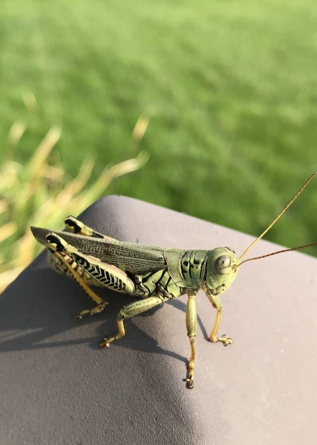 Grasshopper stock foto