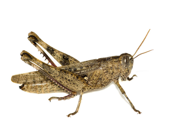 Download Grasshopper Isolated On White Stock Photo - Image: 12229168