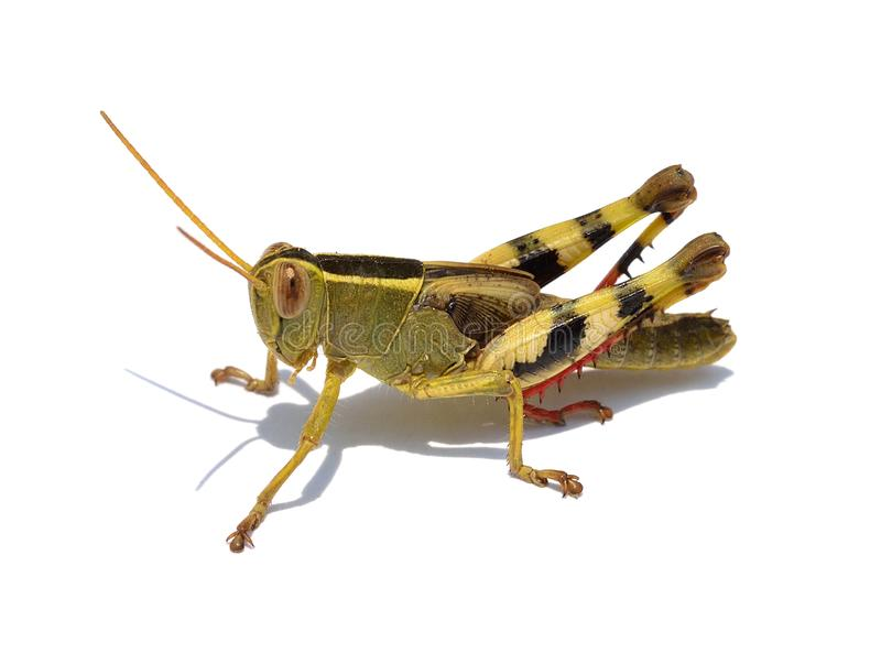 Grasshopper isolated on white background royalty free stock photos