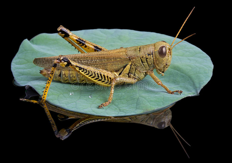 Download Grasshopper Lands On Lily Pad Stock Image - Image: 15668637