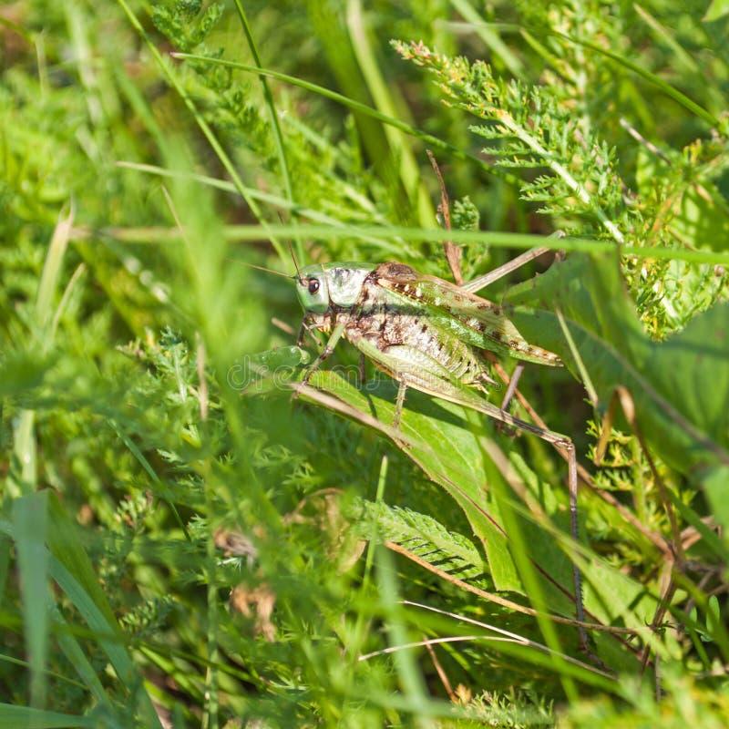 Grasshopper On Leaf Royalty Free Stock Photography