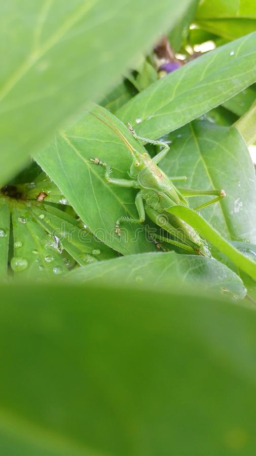 A grasshopper royalty free stock photo