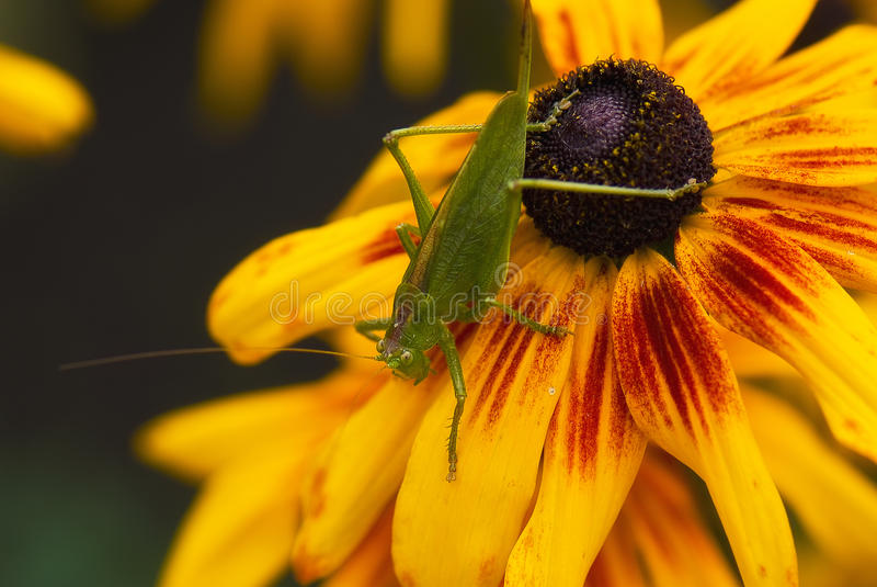 Grasshopper or locust, close up view royalty free stock photo