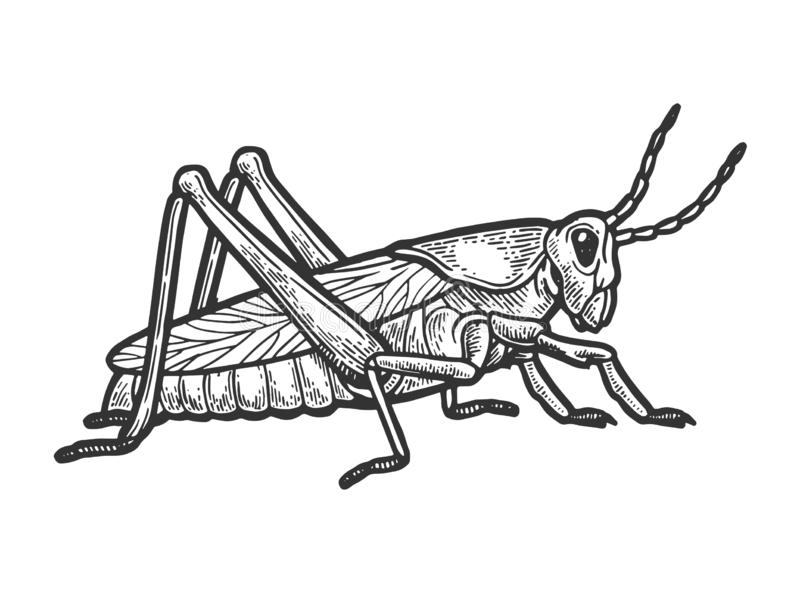 Grasshopper locust engraving vector illustration. Grasshopper locust insect engraving vector illustration. Scratch board style imitation. Black and white hand vector illustration