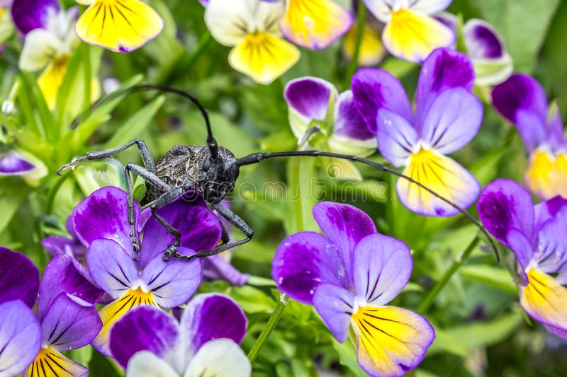 A grasshopper with a long mustache sits on a flower Bud in the garden. Flowers with a large insect close-up. A grasshopper with a long mustache sits on a flower royalty free stock image