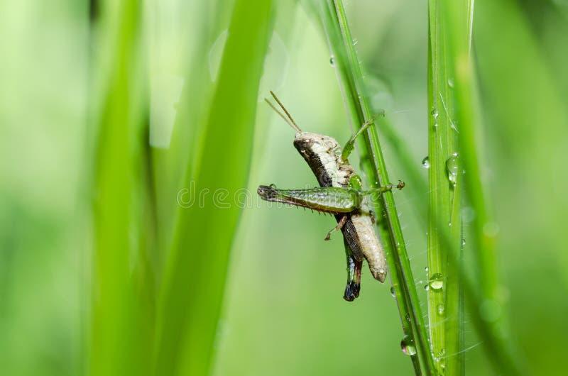 Download Grasshopper Macro In Green Nature Stock Photo - Image: 24084966