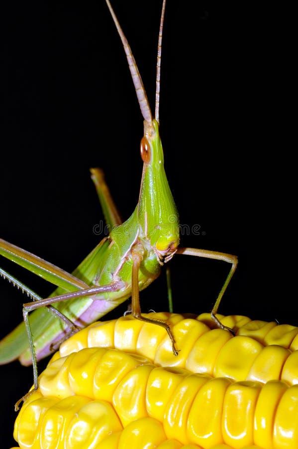 Grasshopper on maize royalty free stock photo