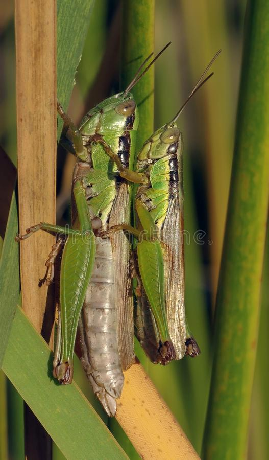 Grasshopper Making Each Other during Daytime stock photography