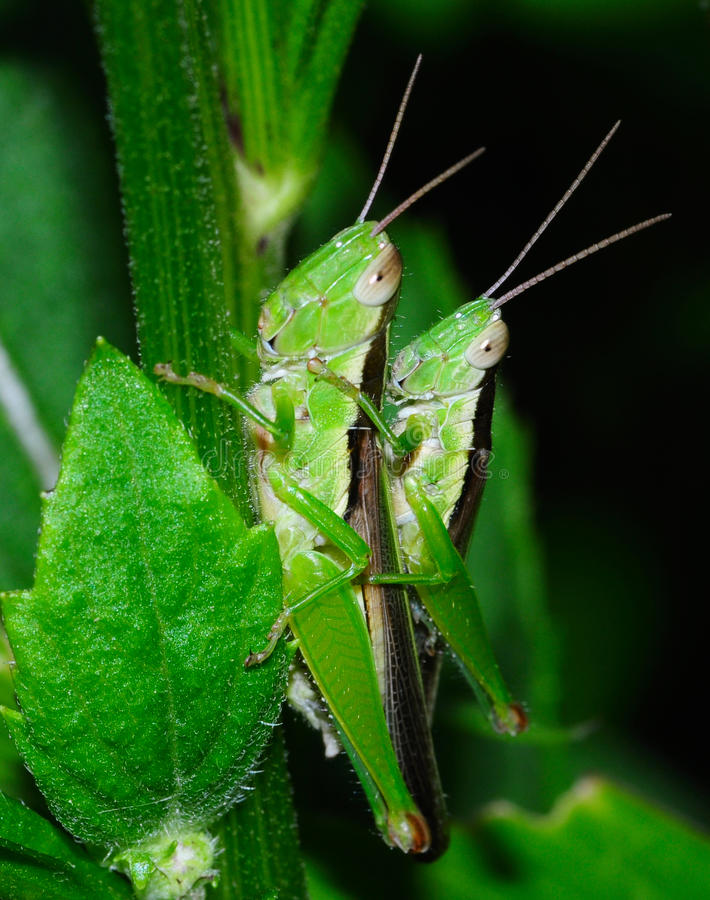Free Grasshopper Mating Stock Photos - 27180733