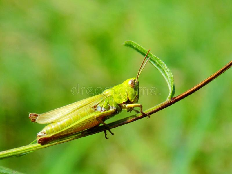 Grasshopper on meadow plant in wild nature stock image