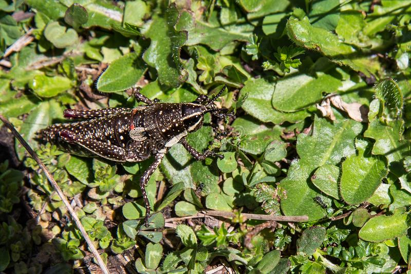 Grasshopper on Mount Hotham, Victorian High Country, Australia stock photo