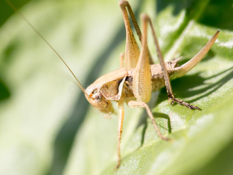 Grasshopper in nature. macro stock photo