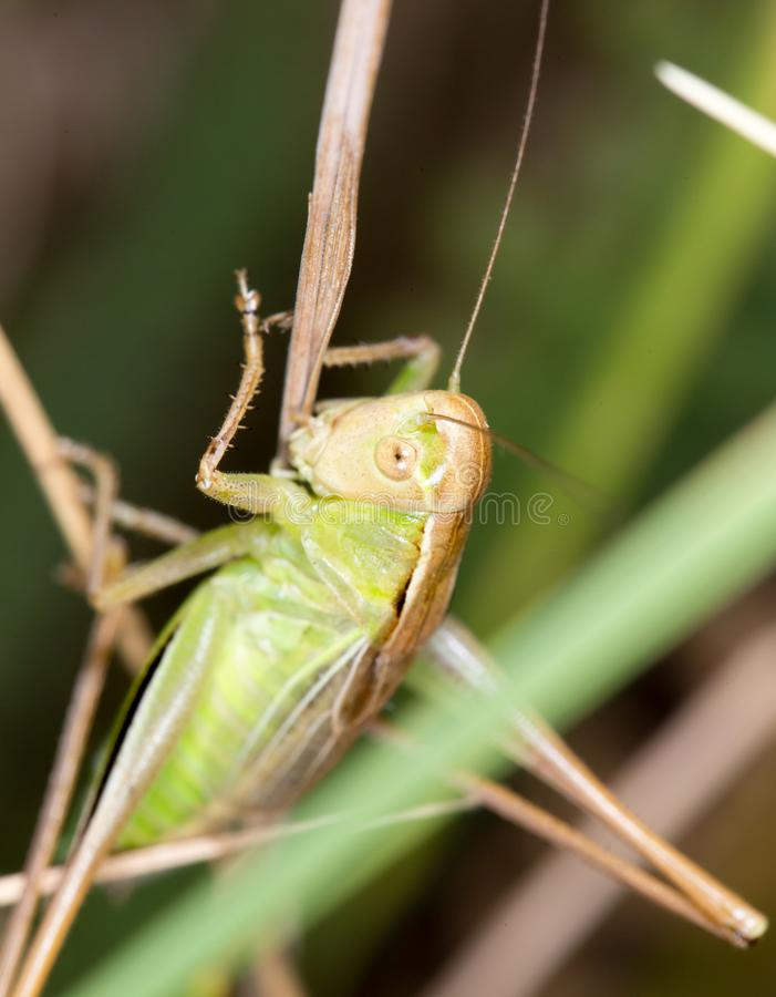 Grasshopper in nature stock image