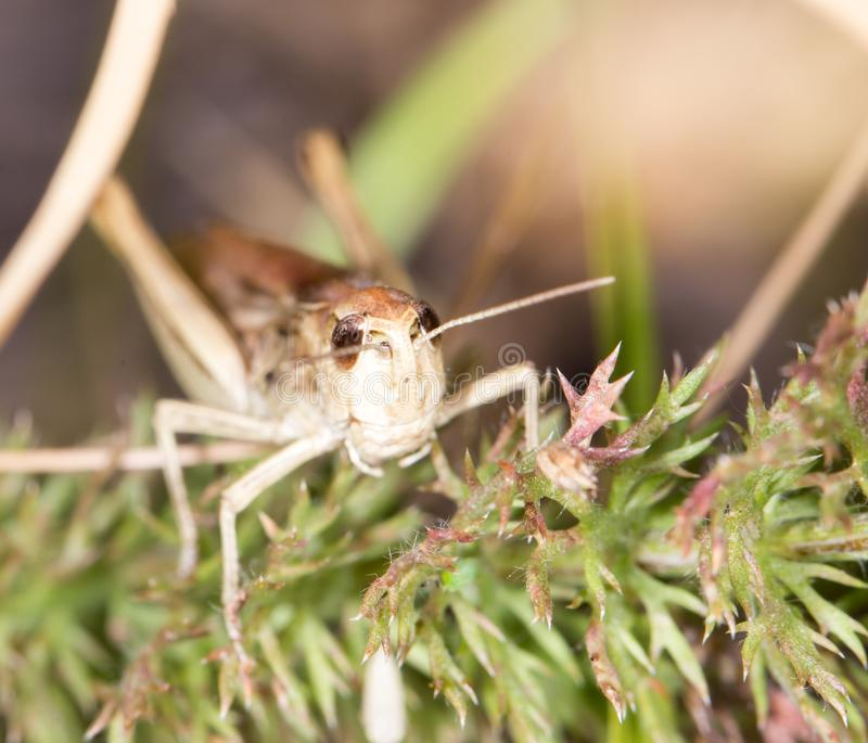 Grasshopper in nature royalty free stock photography