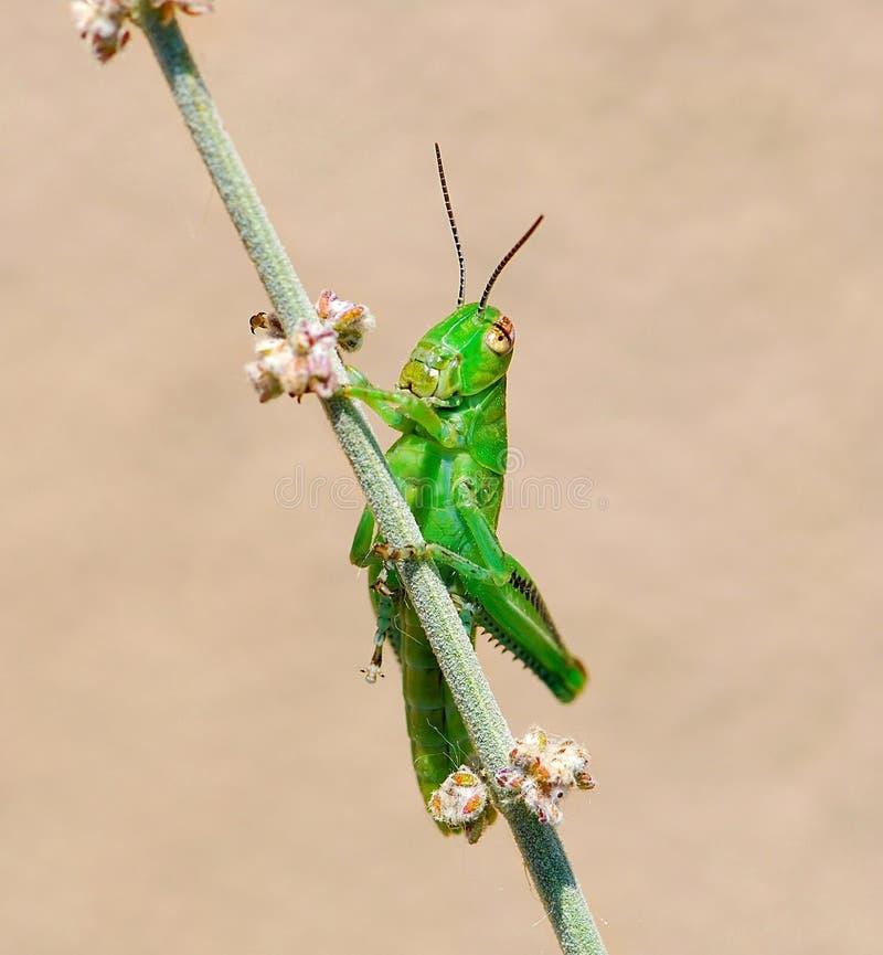 Free Grasshopper On Desert Sage Stock Photos - 5591933