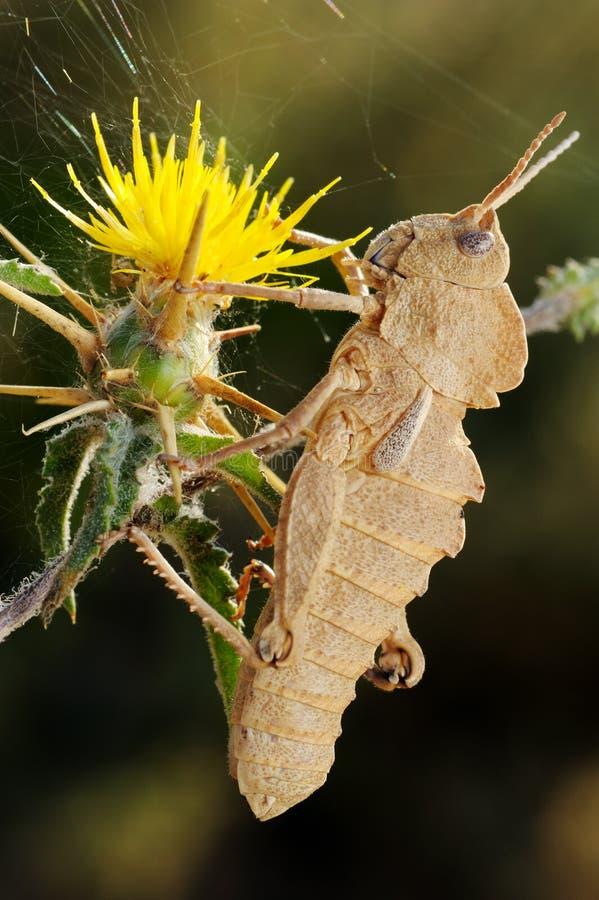 Free Grasshopper On Prickly Flower Royalty Free Stock Photos - 14499048