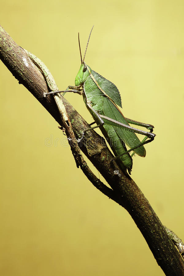 Free Grasshopper On Twig Royalty Free Stock Images - 14063179