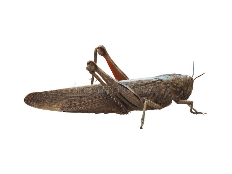 grasshopper insect animal isolated over white royalty free stock image
