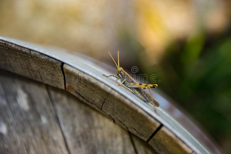 Grasshopper on a barrel royalty free stock images