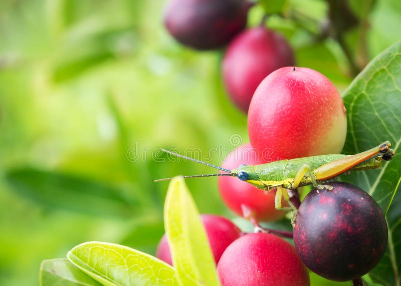 Grasshopper on pink berry fruit. Nature background. royalty free stock images
