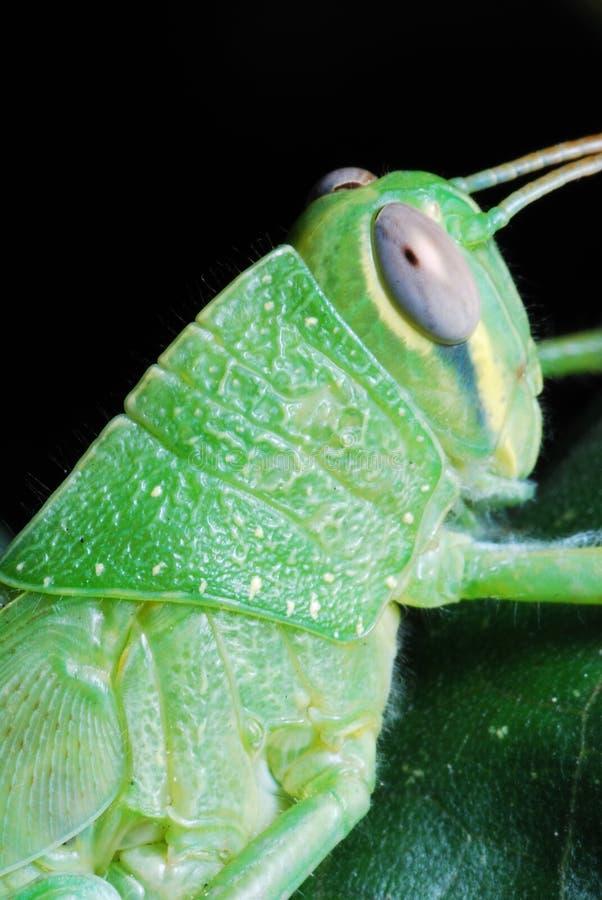 Grasshopper Portrait stock images