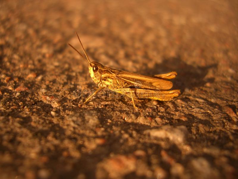 Grasshopper on the road stock photography
