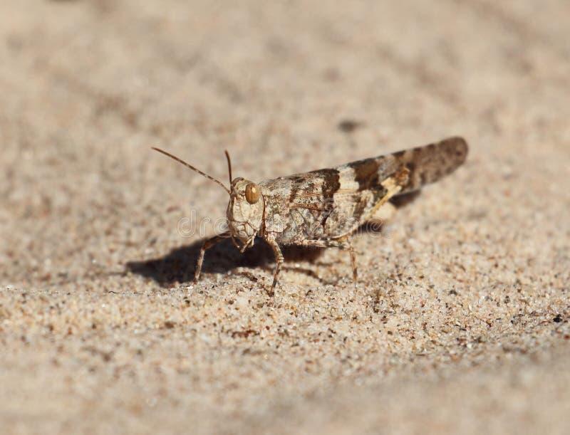 Grasshopper in Sand stock photo