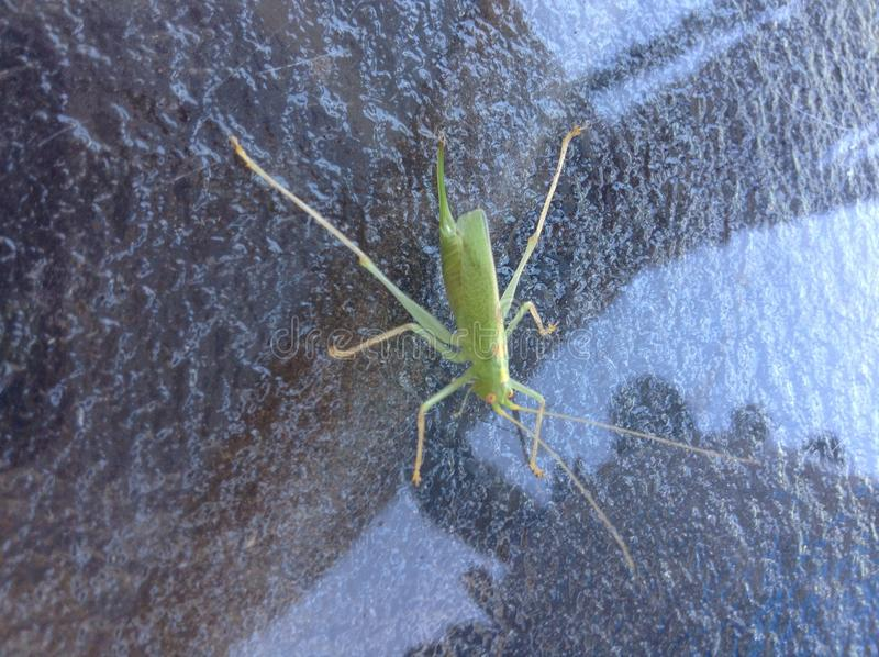 Grasshopper. Scary creature from beyond stock photos