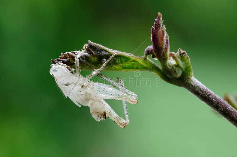 Download A Grasshopper Shell Close-up Stock Image - Image: 33340073