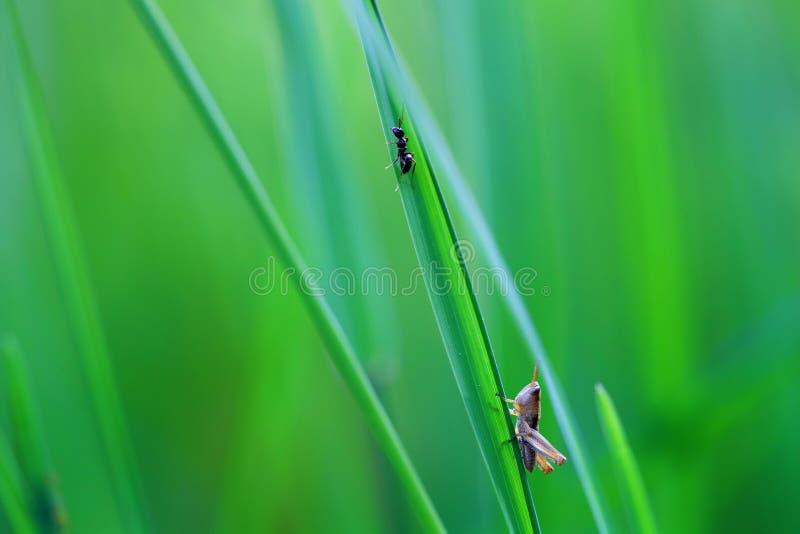 A grasshopper sitting in the grass close up. A green grasshopper. stock image