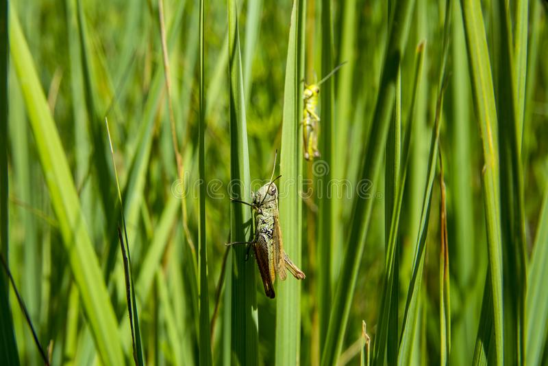 grasshopper sitting in the grass stock photo