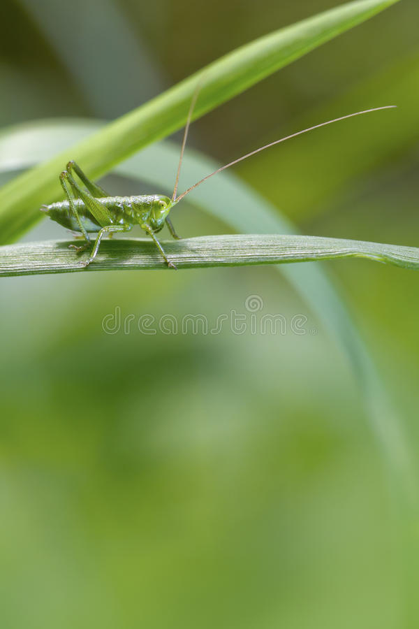 Download Grasshopper stock photo. Image of legs, grasshopper, grass - 30970862