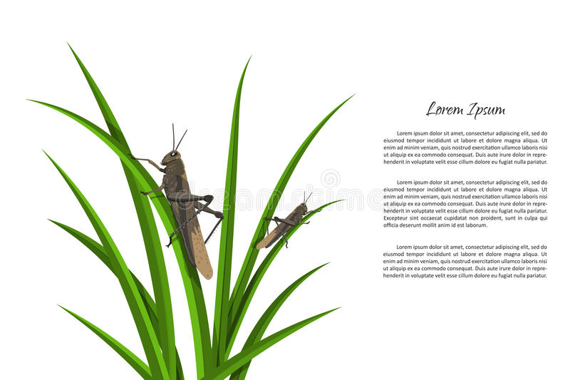 Grasshopper sitting on green grass. picture of locusts. On a white background. Vector illustration vector illustration