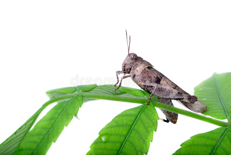 Grasshopper sitting on green leaves isolated on white stock photo
