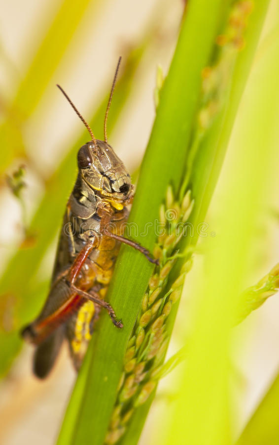Download Grasshopper Sitting On A Leaf Stock Photo - Image: 12045324