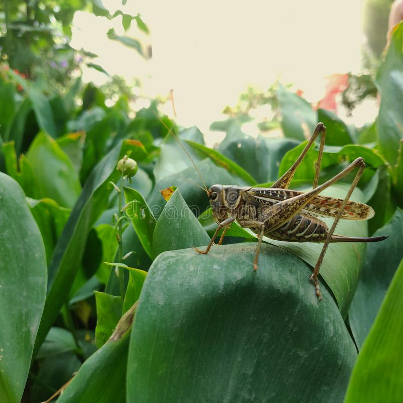 Grasshopper sitting on a leaf of a flower royalty free stock photo